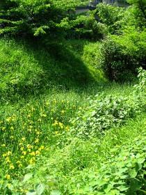 玉川上水緑道の黄色い菖蒲の花1