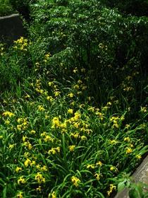 玉川上水緑道の黄色い菖蒲の花2