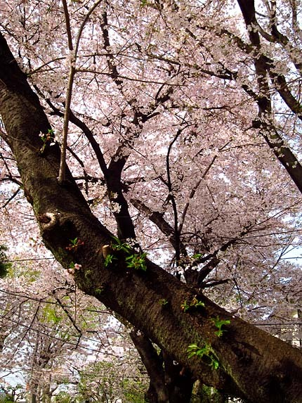 薄桃色の花と黒い幹が織りなす景色
