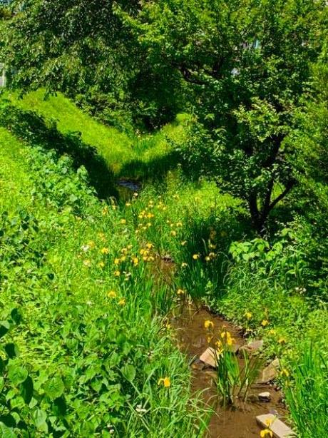 玉川上水緑道の新緑と黄色い菖蒲の花,国指定史跡区間